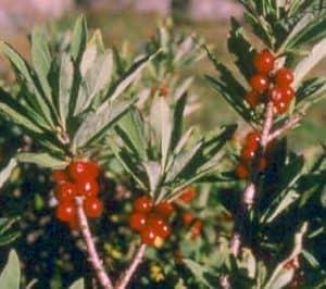 buah Daphne