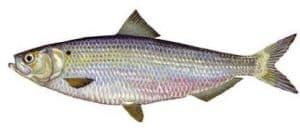 ikan haring