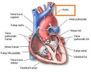 pembuluh aorta jantung