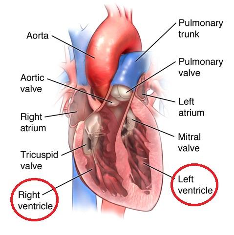 Ventrikel : Pengertian – Fungsi – Jenis – Resiko Penyakit