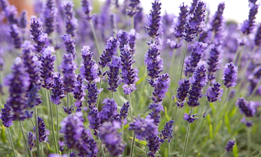 Seperti Apa Ciri Lavender Asli Untuk Sukses Usir Nyamuk?