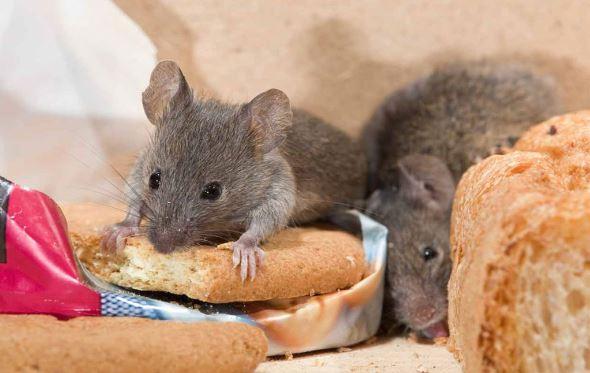 Bangkai Tikus Ditemukan Pada Sisa Banjir, Waspadai Penyakit Leptospirosis